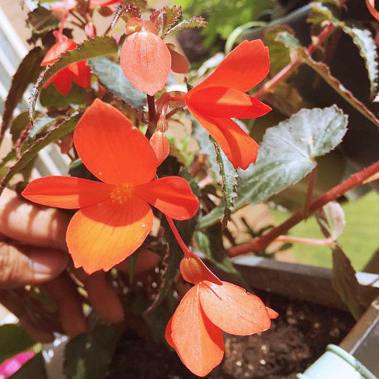 MAMANUSHKA.com    From Plant Killer to Glorious Garden Addict    Easy Plants For Beginners    Urban Garden    Begonia Million Kisses