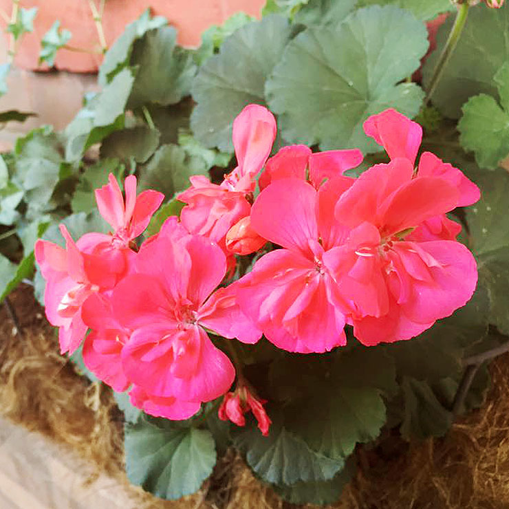 MAMANUSHKA.com || From Plant Killer to Glorious Garden Addict || Easy Plants For Beginners || Urban Garden || Geraniums