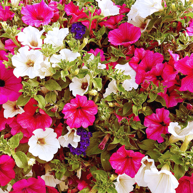 MAMANUSHKA.com || From Plant Killer to Glorious Garden Addict || Easy Plants For Beginners || Urban Garden || Petunias