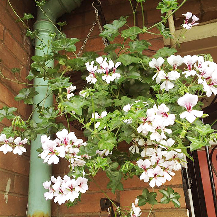 MAMANUSHKA.com || From Plant Killer to Glorious Garden Addict || Easy Plants For Beginners || Urban Garden || Trailing Geraniums