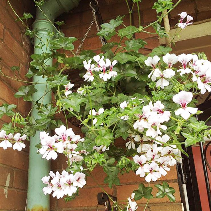 MAMANUSHKA.com    From Plant Killer to Glorious Garden Addict    Easy Plants For Beginners    Urban Garden    Trailing Geraniums