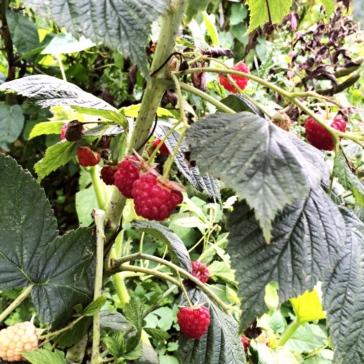 MAMANUSHKA.com || How To Plant An Edible Garden || Easy Guide to Growing Your Own Fruit & Vegetables || Allotment Raspberries