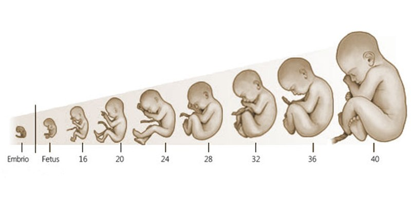 razvoj-trudnoce-po-nedeljama