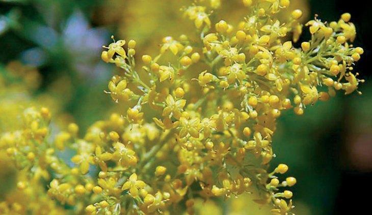 ivanjsko cvijece alternativna medicina epilepsija