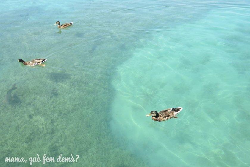 3 patos nadando en el agua azul turquesa del lago de Banyoles