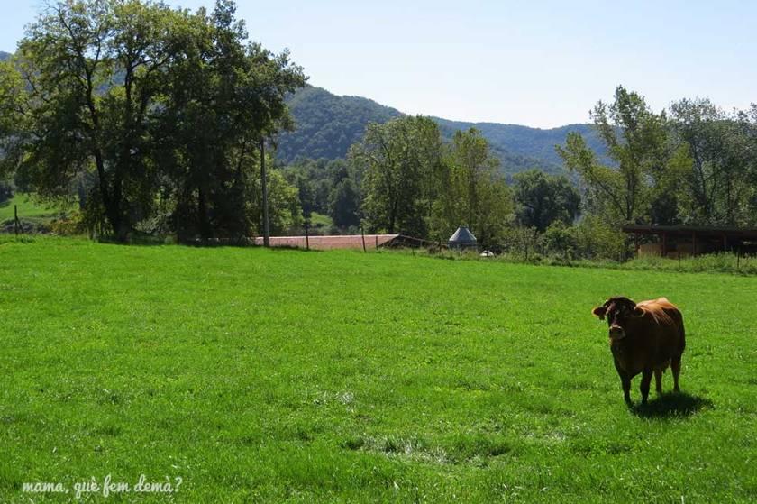 Campo con una vaca en Vidrà