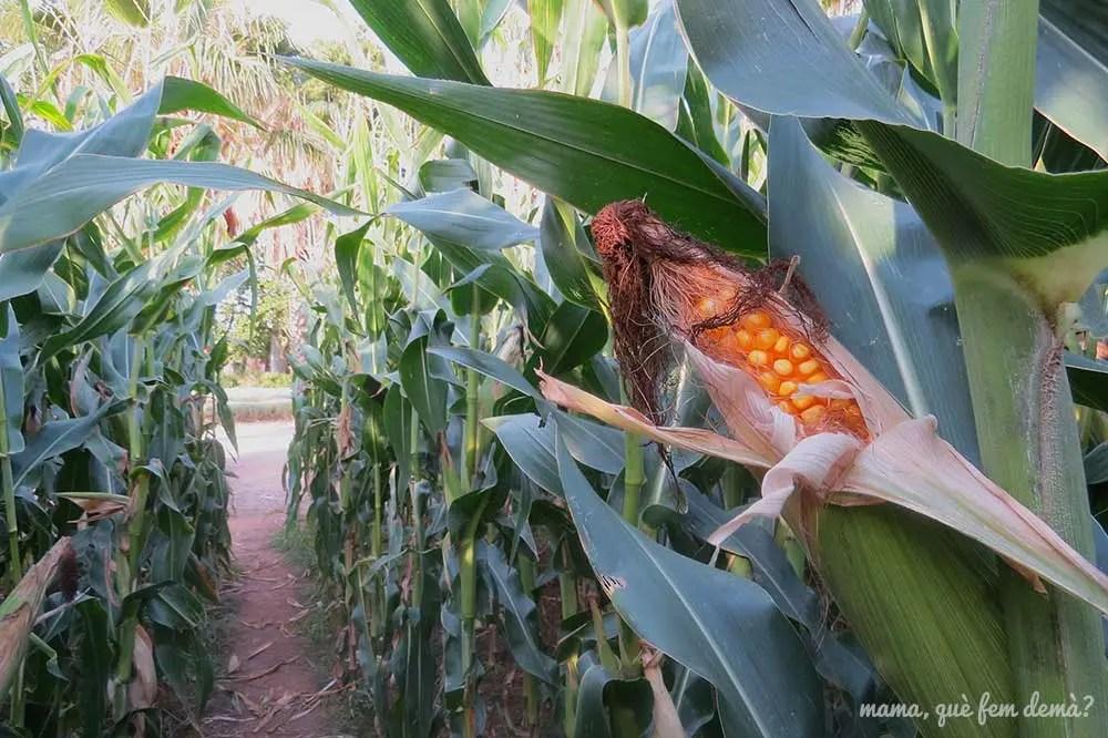 mazorca de maíz del laberinto del parc Samà