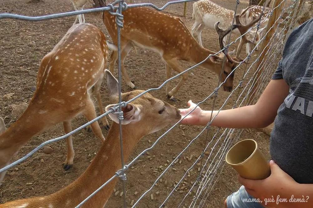 Niño dando de comer a los gamos en el Parc Samà
