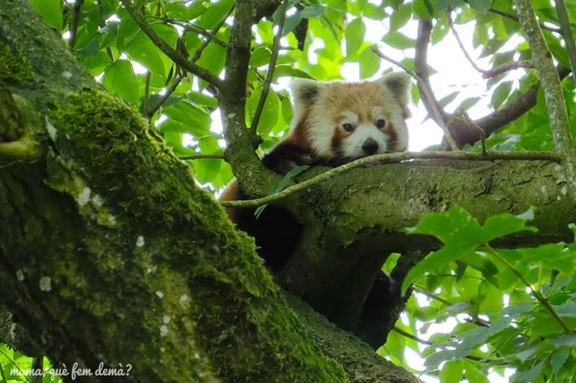 panda rojo en Givskyd Zoo