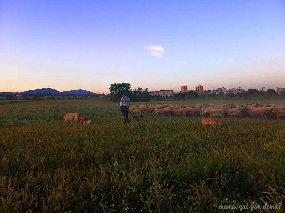 rebaño de ovejas y pastor en el parc agrari de sabadell