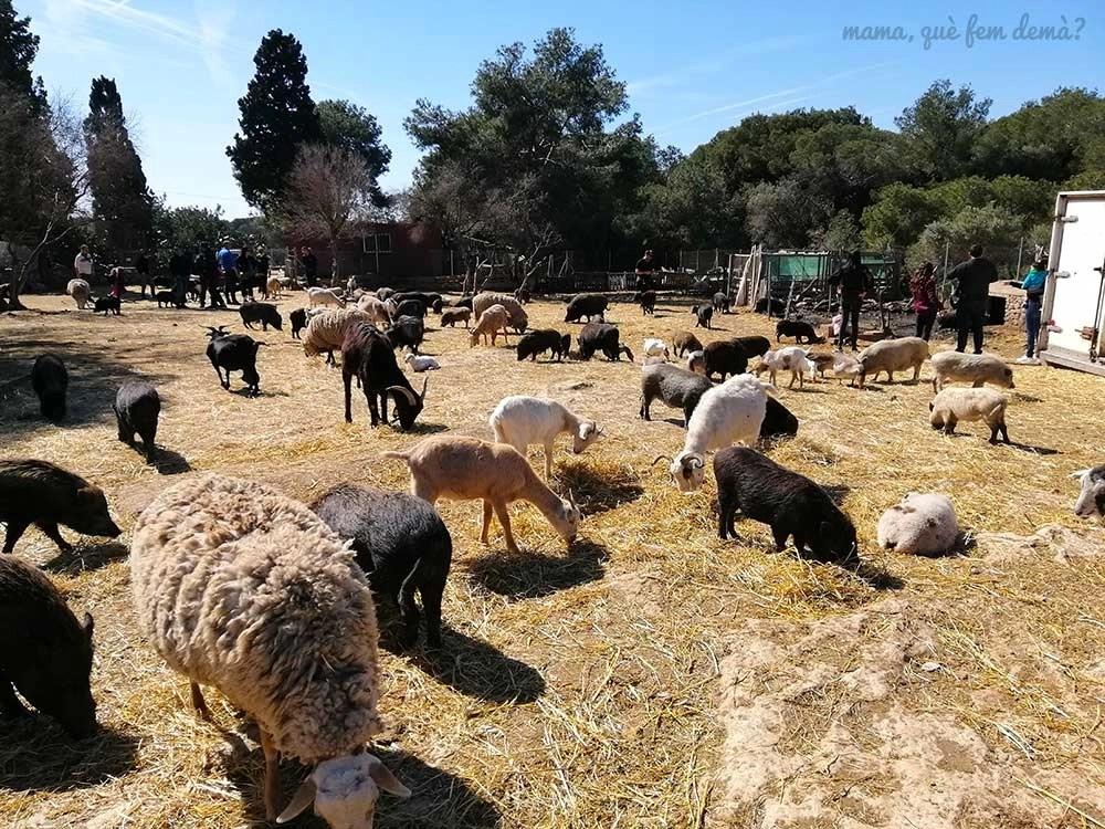 Cabras y ovejas en Món La Bassa