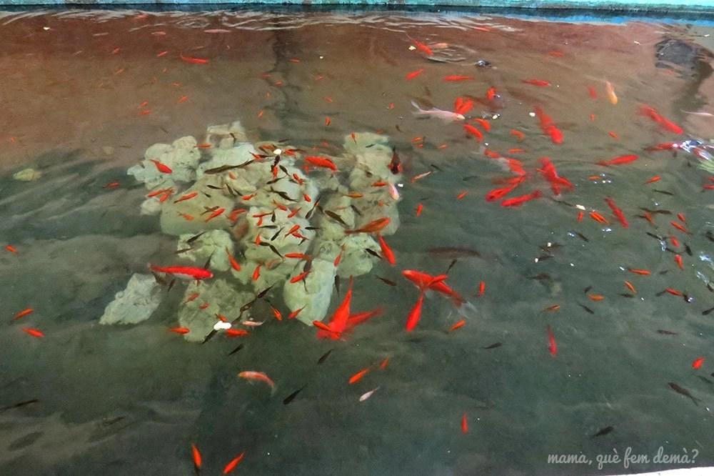 Peces rojos dentro del agua del lavadero del Parc del Reguissol de Santa Maria de Palautordera