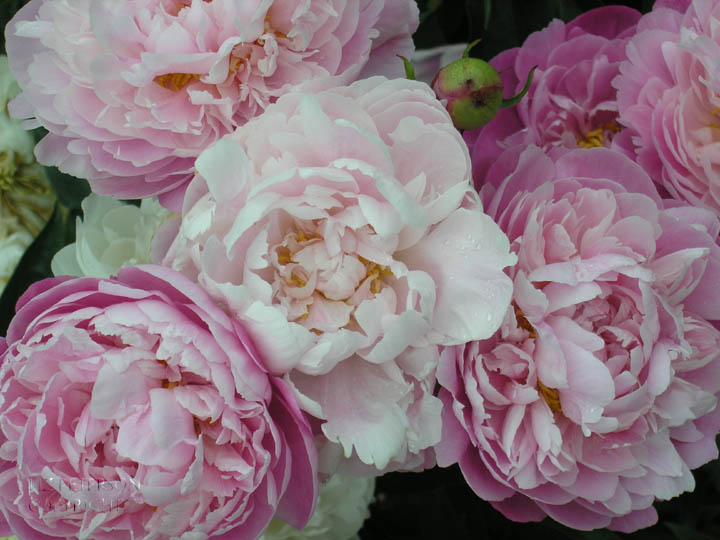 "Elizabeth Peterson, Peonies, Photography, 27""x21"", $315"