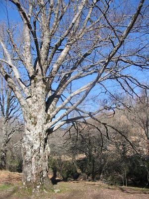 árboles hayas naturaleza campo paseo otoño