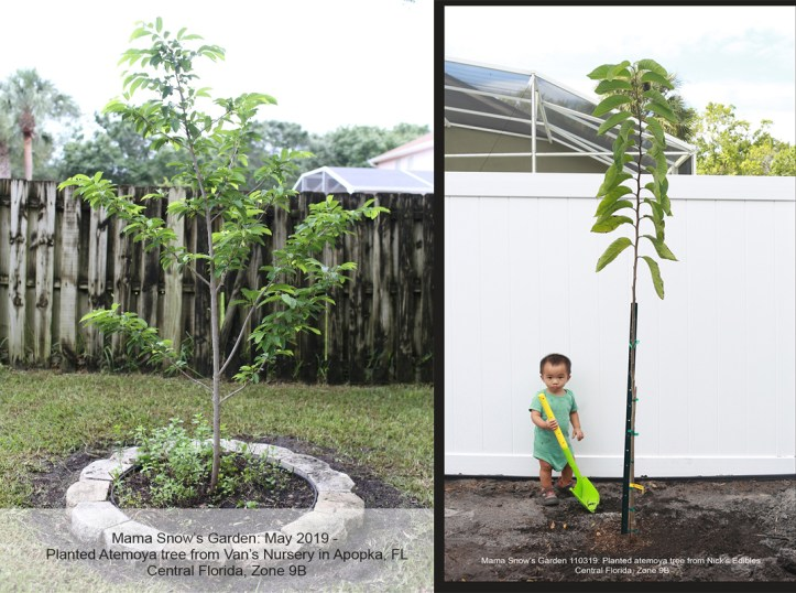 Atemoya trees2019