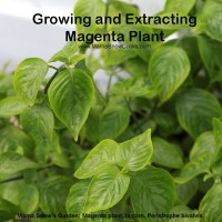 Growing and Extracting Magenta Plant