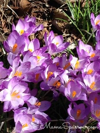 Spring Flowers Violet