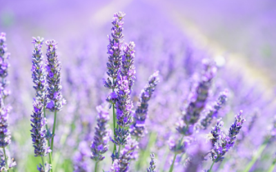 Research-Backed Benefits of Lavender Essential Oil & How to Use It!