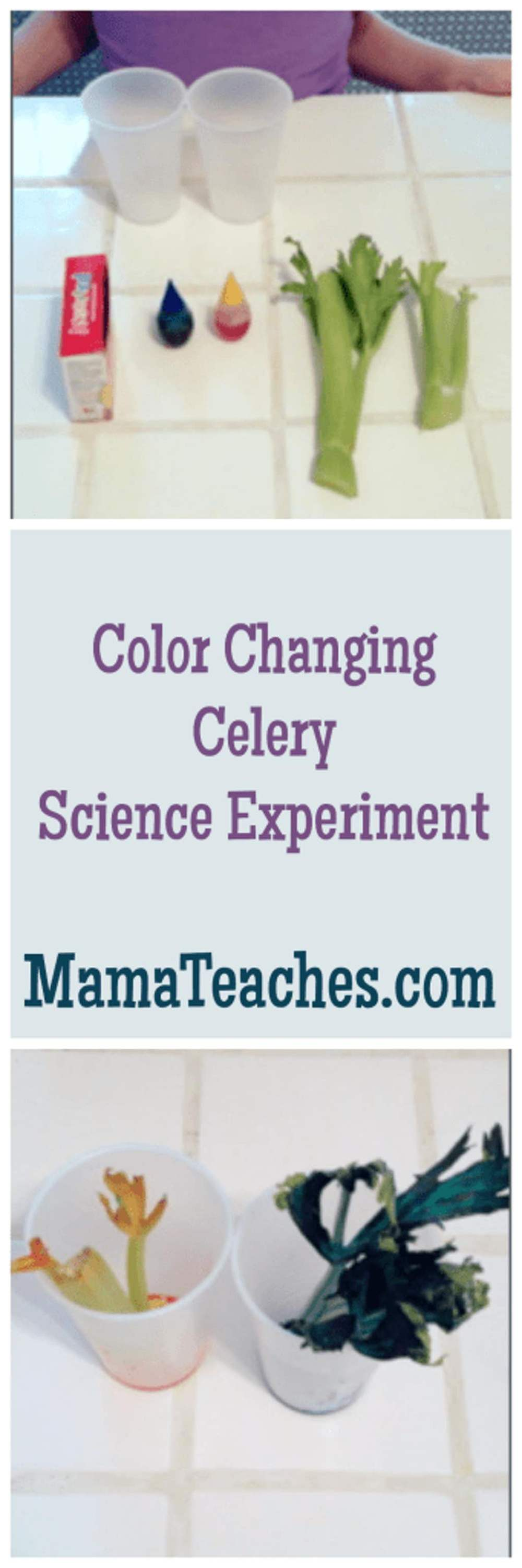 medium resolution of Color Changing Celery Experiment - Mama Teaches