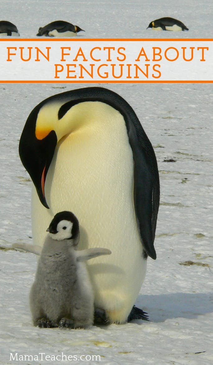 medium resolution of Fun Facts About Penguins for Kids - Mama Teaches