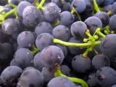 bunch_of_blue_grapes