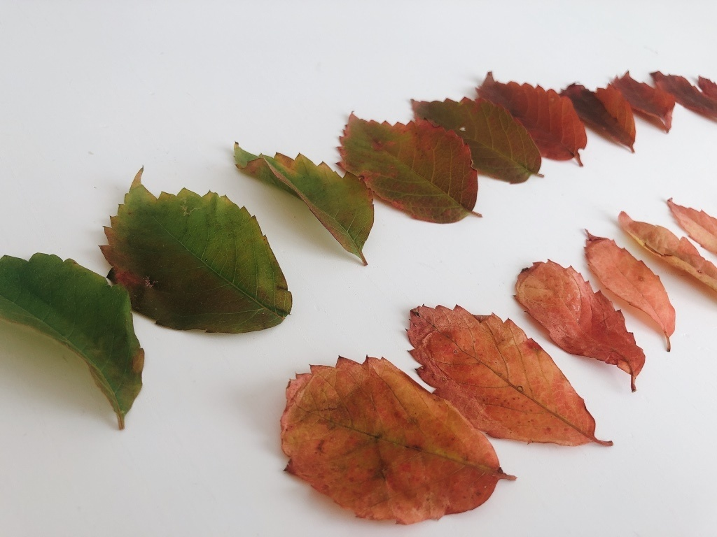 porque las hojas cambian de color en otoño