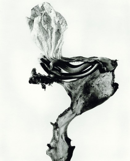 """Herbarium series: """"Guillumeta polymorpha"""", 1982 © Joan Fontcuberta"""