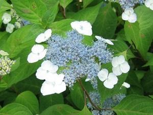アマチャの花の画像