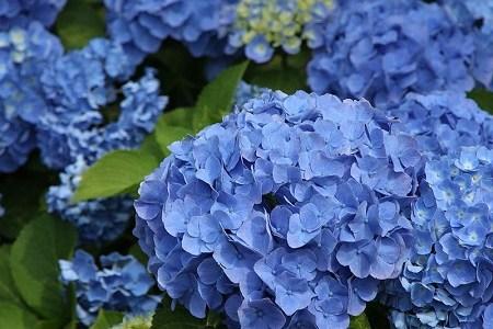 あじさいは縁起が悪い花で庭に植えてはいけない?風水でも?