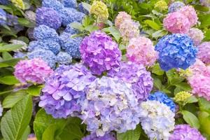 紫陽花の画像3