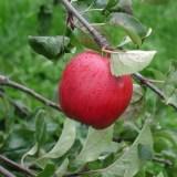赤いりんごの画像