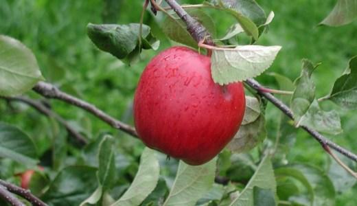 紅玉というりんごの品種の特徴と出荷される時期は?