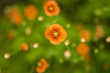 ひなげしの花が咲く時期ってどの季節?漢字でどう書くの?