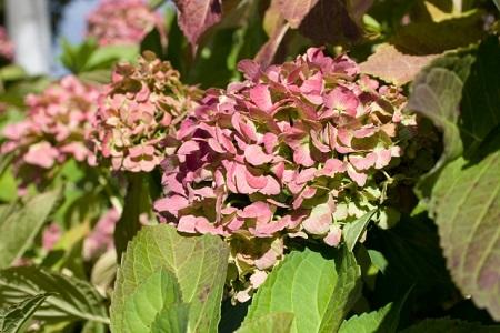 秋に咲く紫陽花