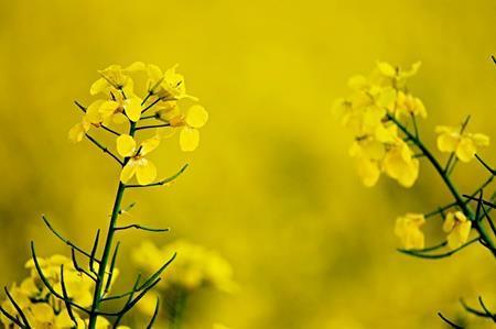 菜の花とアブラナの違い。ブロッコリーやキャベツも親戚?