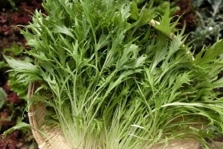 水菜と京菜って同じ品種なの?壬生菜との違いは?