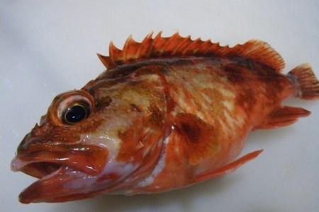 カサゴには別名がたくさんある?ガシラやアラカブも同じ魚?