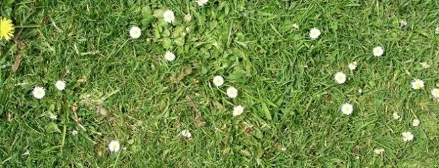 summer grass daisies - Free High Resolution Grass and Leaf Textures