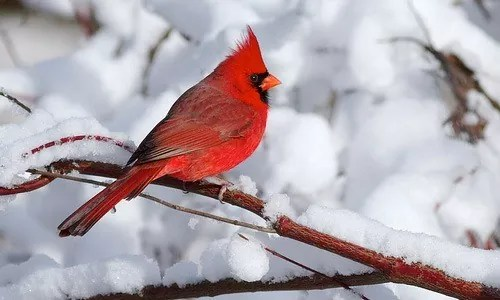 winter photography cardinal - Chill Winter Photography
