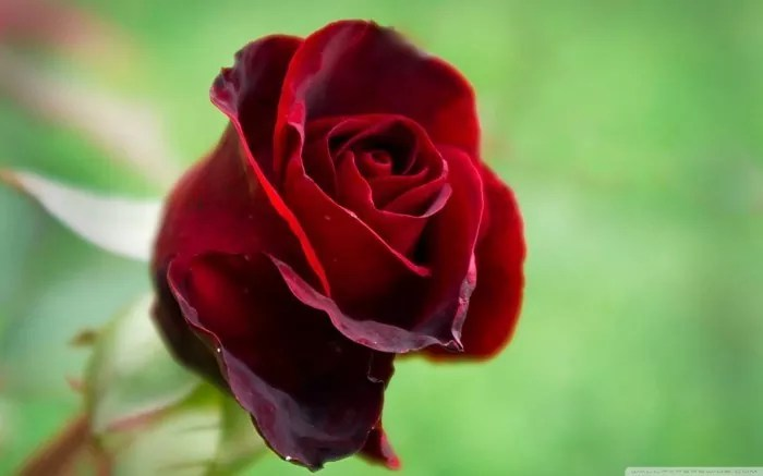 Beautiful Red Rose Wallpaper colors 34511907 1680 1050 - 25 Red Rose Wallpapers For Lovers
