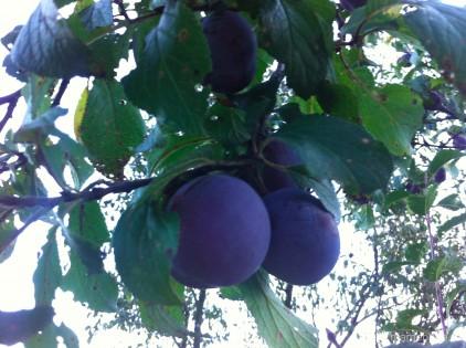 prune-toamna