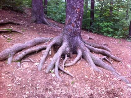 rădăcini_copac