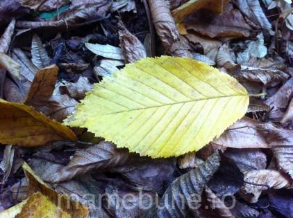 frunză_galbenă