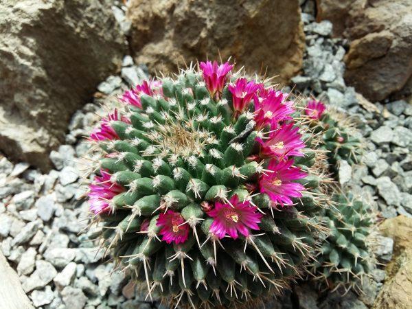 cactus cu flori