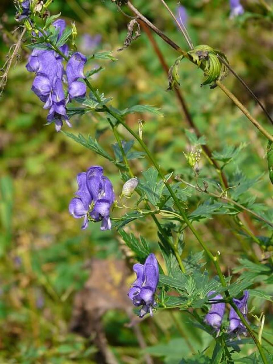 plante-aconitum-napellus