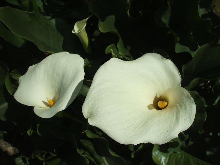 plante-arum