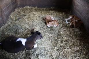 Otro de los animales que no podían faltar fueron las cabras.