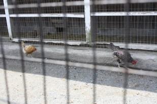 Por supuesto en la granja había pollos, gallos y gallinas.