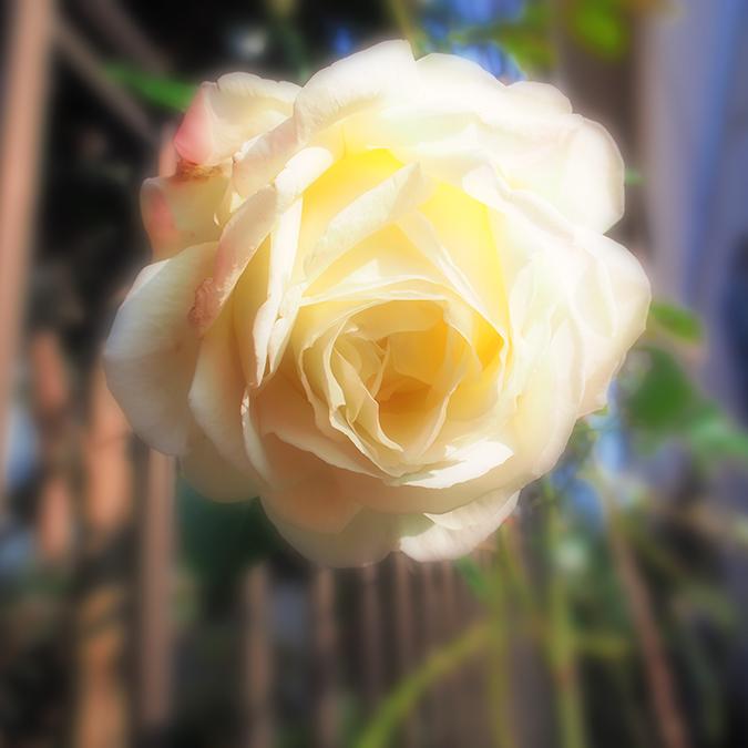 roseのコピー