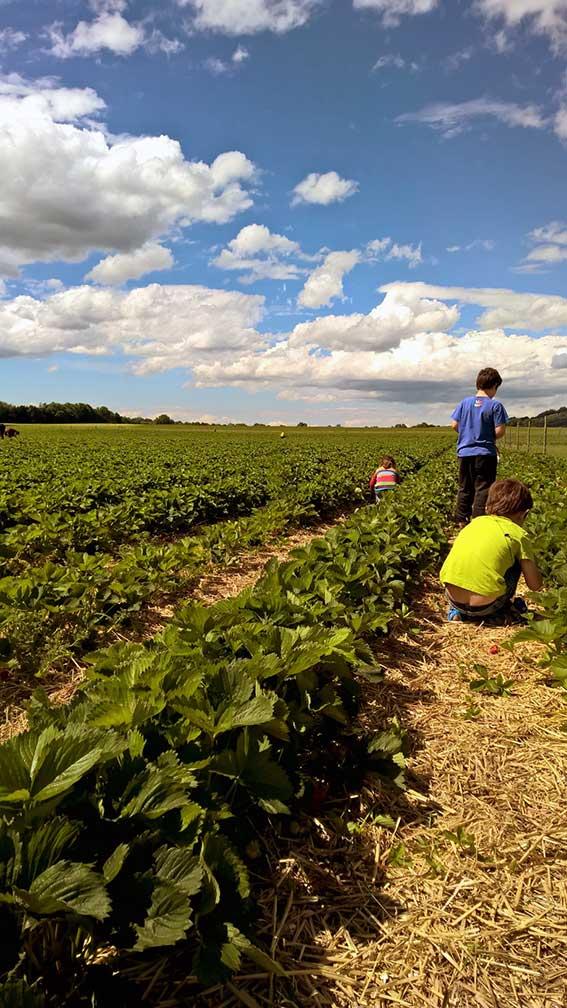 Erdbeeren pflücken auf dem Erdbeerfeld: So verbringen wir Mitsommer in den Bergen